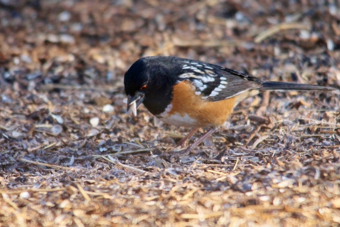 Spotted Towhee (17) (1024x684)