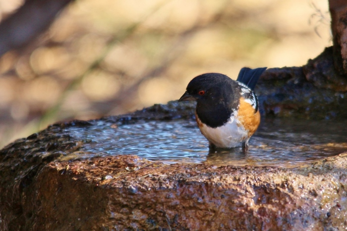 Spotted Towhee (19) (1024x684)