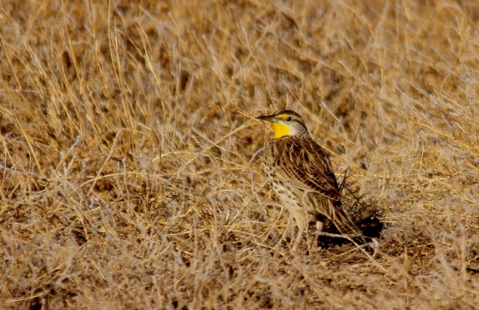 Western Meadowlark (46) (1024x664)