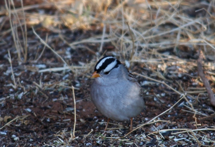 White-crowned Sparrow (107) (1024x698)