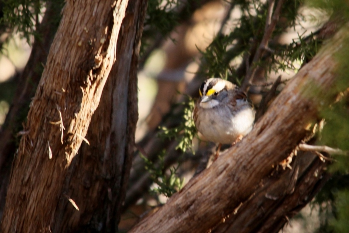 White-throated Sparrow (14) (1024x684)