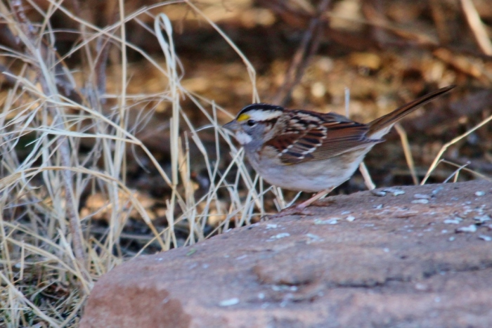 White-throated Sparrow (15) (1024x684)