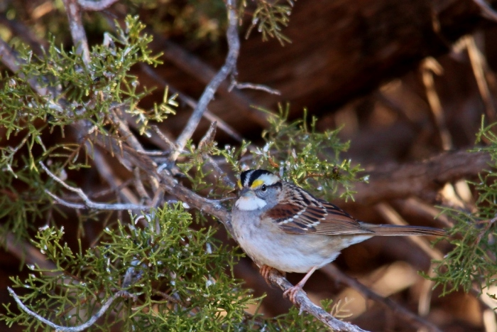 White-throated Sparrow (16) (1024x684)