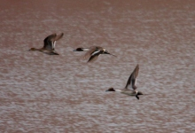 Northern Pintail (4) (1024x702)