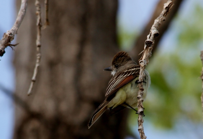 Ash-throated Flycatcher (63) (1024x704)