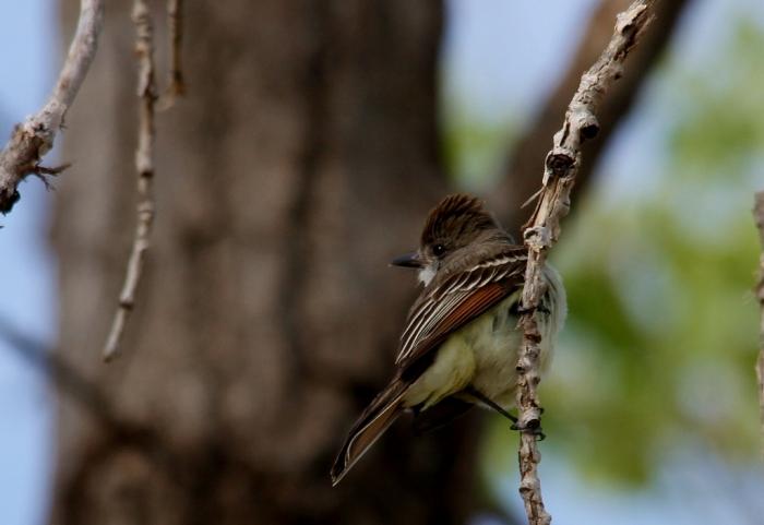 Ash-throated Flycatcher (63) (1024x704)