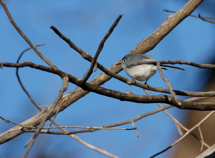 Blue-gray Gnatcatcher (27) (1024x756)