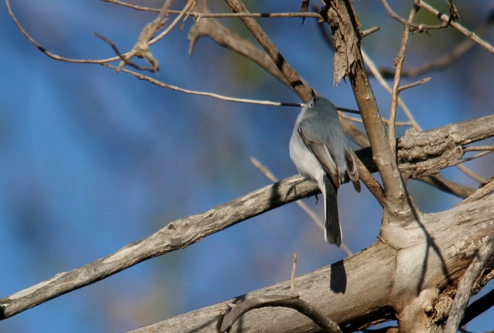 Blue-gray Gnatcatcher (28) (1024x692)
