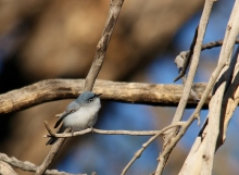 Blue-gray Gnatcatcher (30) (1024x752)