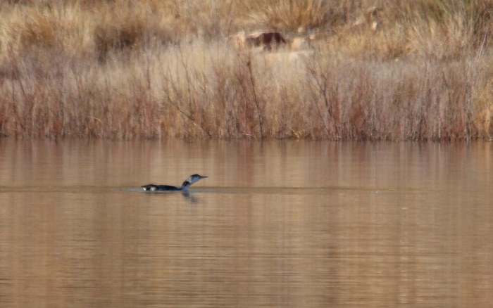 Common Loon (22) (1024x642)