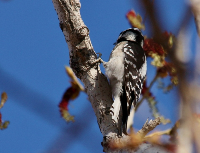 Downy Woodpecker (22) (1024x786)