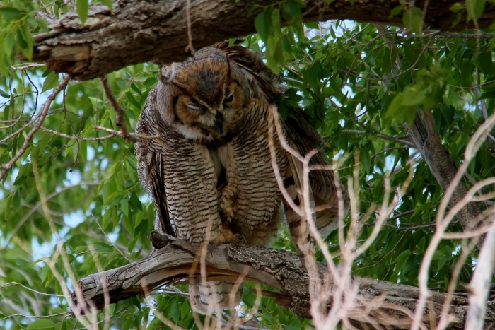 Great Horned Owl (64) (1024x684)