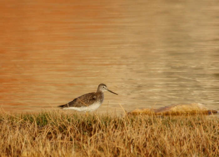 Greater Yellowlegs (62) (1024x736)