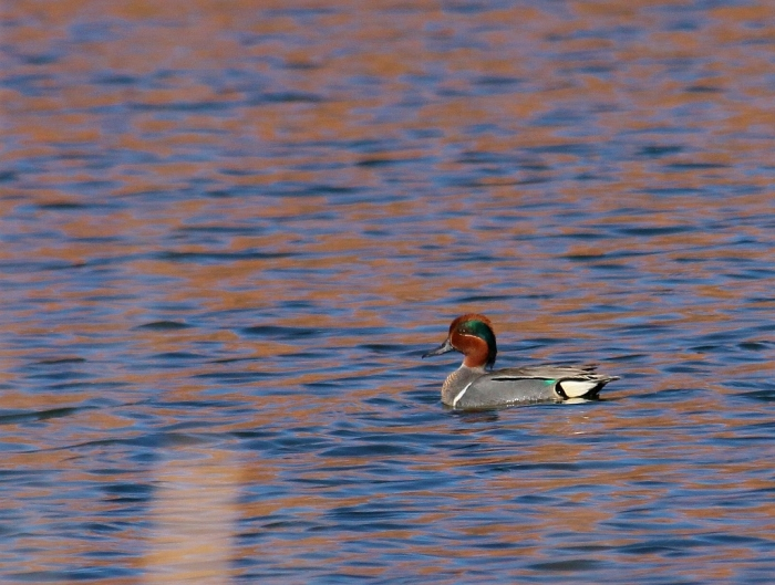 Green-winged Teal (2) (1024x774)