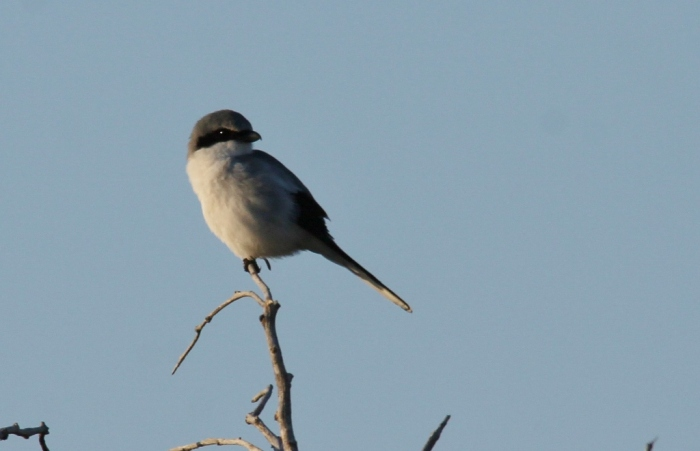 Loggerhead Shrike (22) (1024x661)