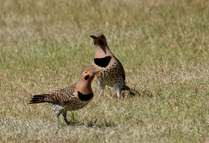 Northern Flicker (Yellow-shafted) (22) (1024x700)
