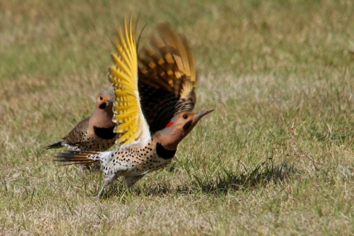 Northern Flicker (Yellow-shafted) (23) (1024x684)