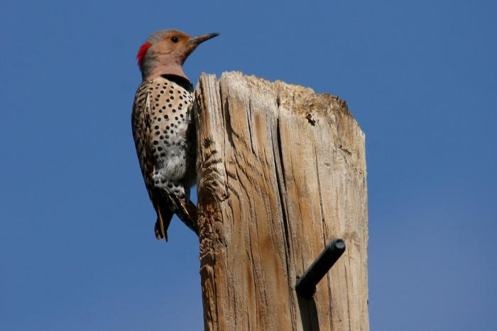 Northern Flicker (Yellow-shafted) (28) (1024x684)