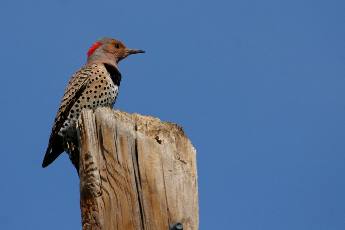 Northern Flicker (Yellow-shafted) (29) (1024x684)