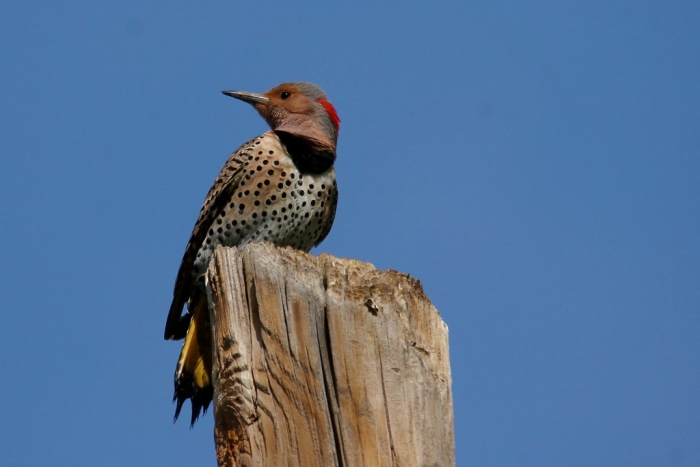 Northern Flicker (Yellow-shafted) (30) (1024x684)
