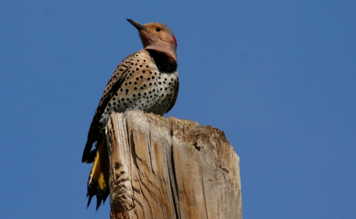 Northern Flicker (Yellow-shafted) (31) (1024x633)
