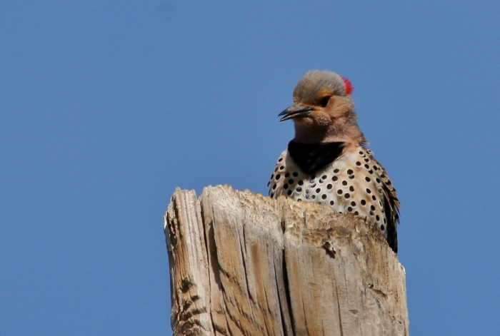 Northern Flicker (Yellow-shafted) (32) (1024x690)