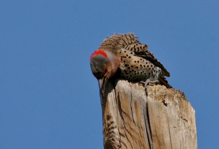 Northern Flicker (Yellow-shafted) (34) (1024x698)