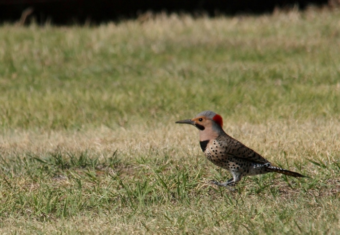 Northern Flicker (Yellow-shafted) (6) (1024x710)