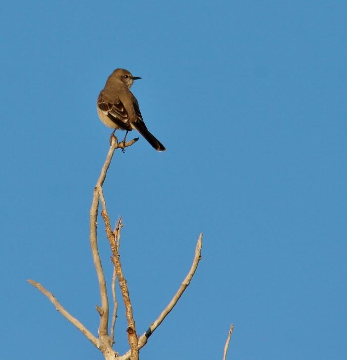 Northern Mockingbird (81) (987x1024)