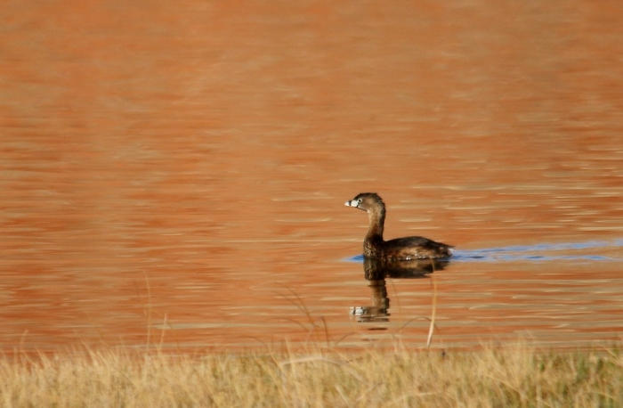 Pied-billed grebe (32) (1024x670)