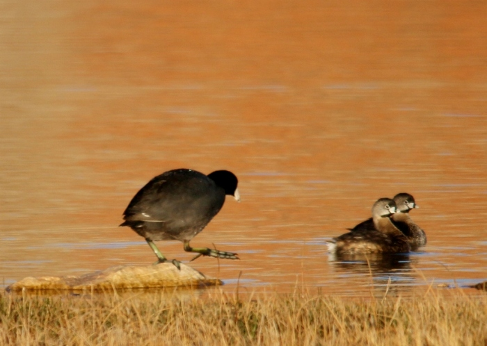 Pied-billed Grebe, American Coot (2) (1024x729)