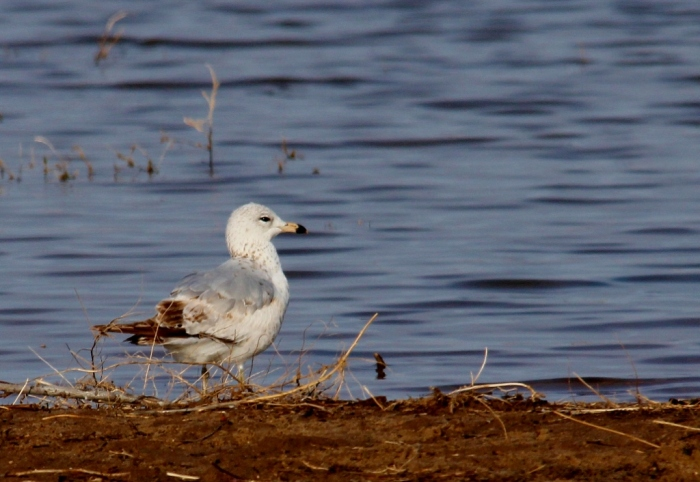 Ring-billed Gull (first winter) (1024x706)