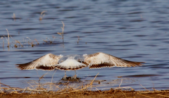 Ring-billed Gull (first winter) (4) (1024x598)