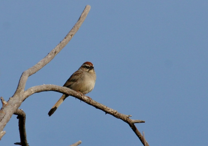 Rufous-crowned Sparrow (55) (1024x718)