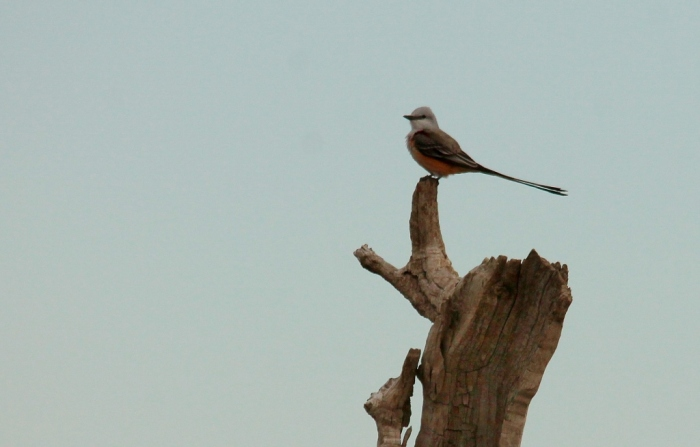 Scissor-tailed Flycatcher (184) (1024x655)