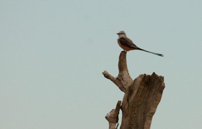 Scissor-tailed Flycatcher (184) (1024x655)