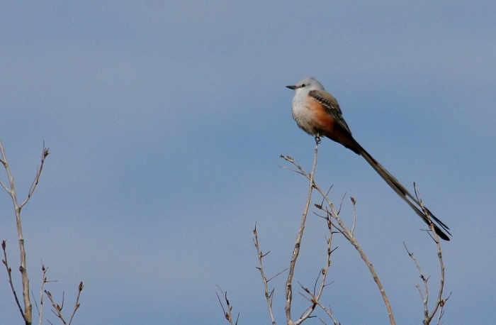 Scissor-tailed Flycatcher (185) (1024x671)