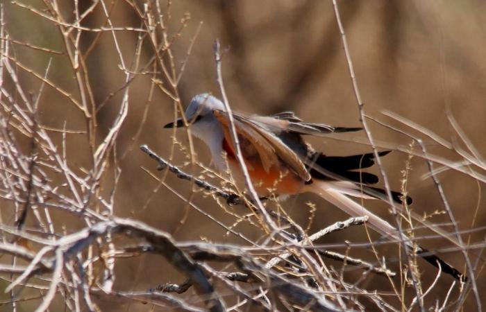 Scissor-tailed Flycatcher (187) (1024x659)