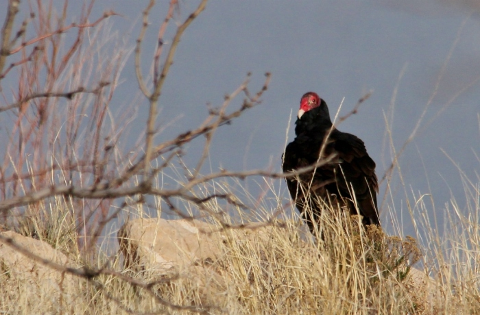 Turkey vulture (7) (1024x673)