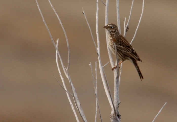 Vesper Sparrow (16) (1024x705)