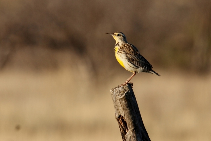 Western Meadowlark (48) (1024x684)