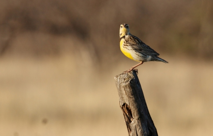 Western Meadowlark (51) (1024x654)