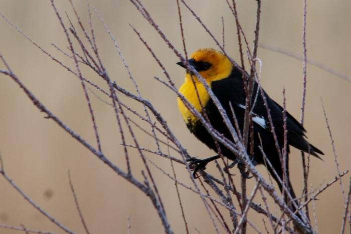 Yellow-headed Blackbird (24) (1024x684)