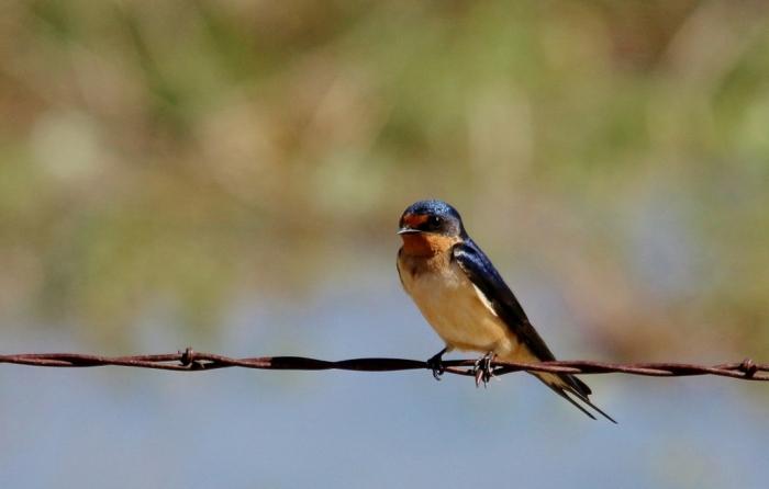 Barn Swallow (20) (1024x653)
