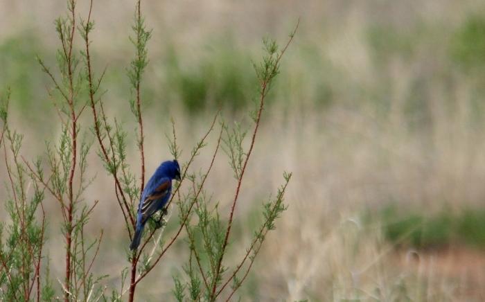 Blue Grosbeak (75) (1024x638)