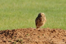 Burrowing Owl (13) (1024x686)