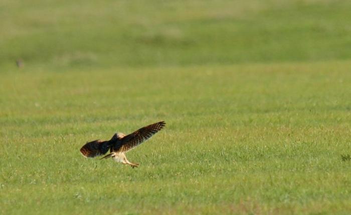 Burrowing Owl (15) (1024x628)