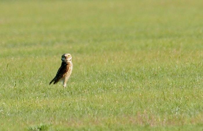 Burrowing Owl (19) (1024x662)