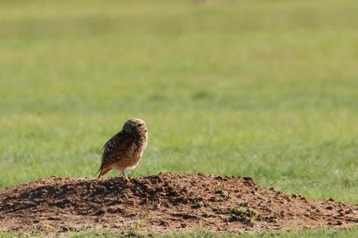 Burrowing Owl (2) (1024x684)