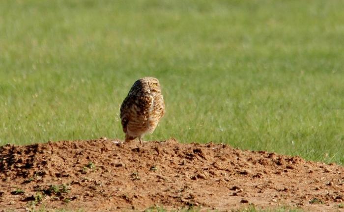 Burrowing Owl (7) (1024x633)